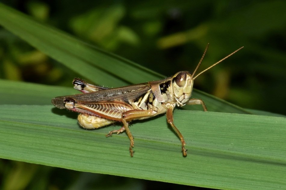 closeup of a grasshopper on the green leaf