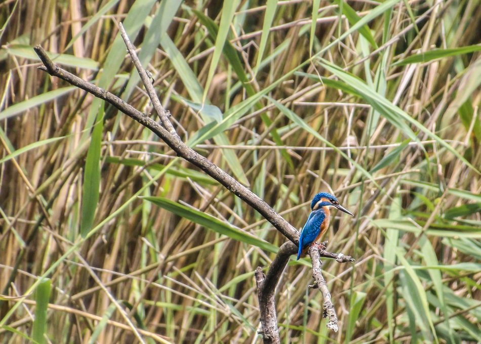 small blue kingfisher in wildlife
