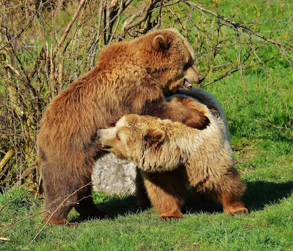bears playing in the wildpark poing