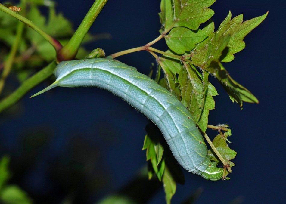 Larvae Of Caterpillars