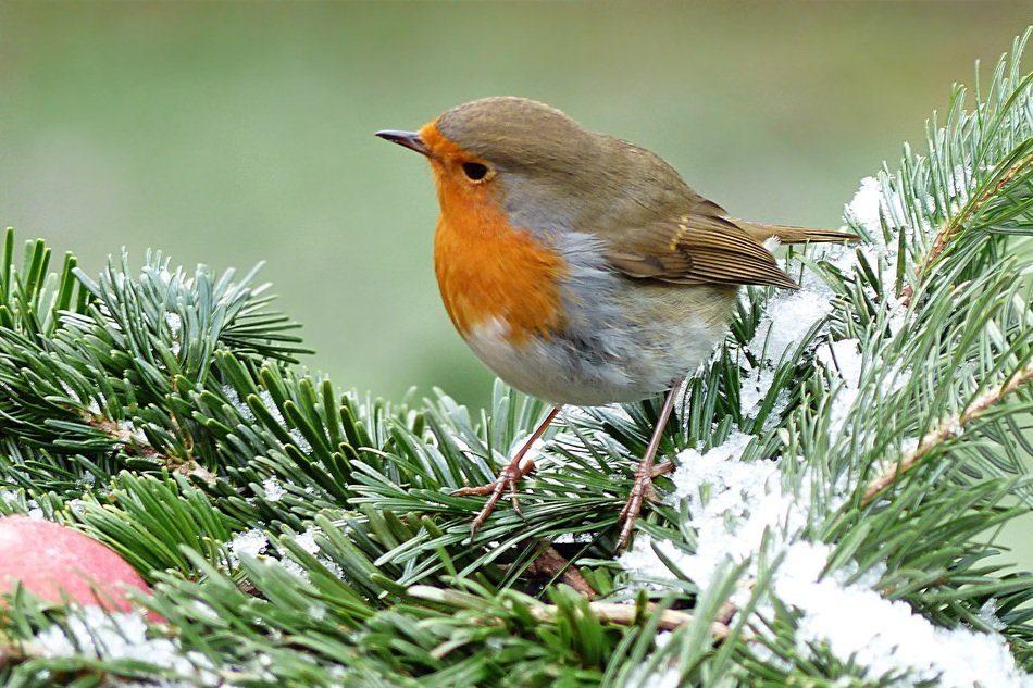 robin on the pine tree in winter
