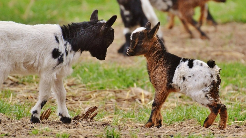 young goats butting each other