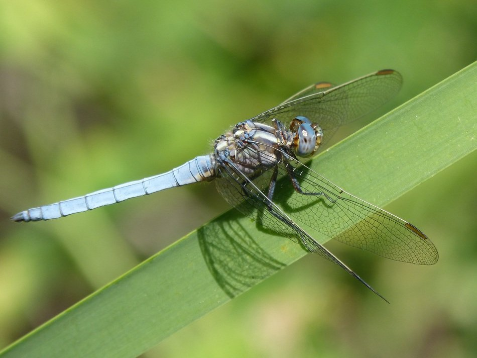 blue dragonfly on the blade of grass