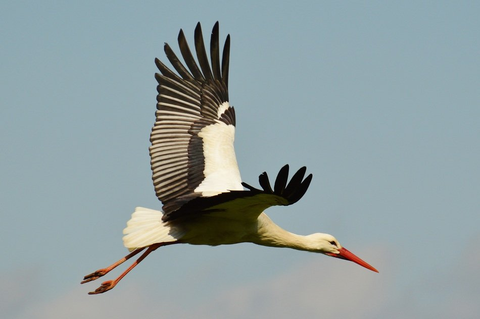 flying stork in the sky