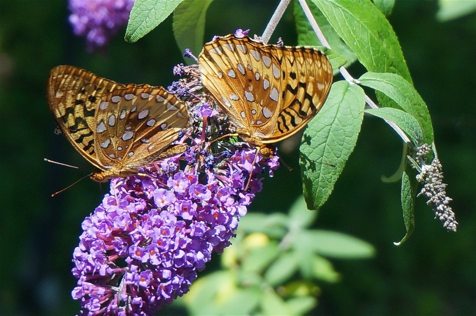 two passion butterflies on the lilac