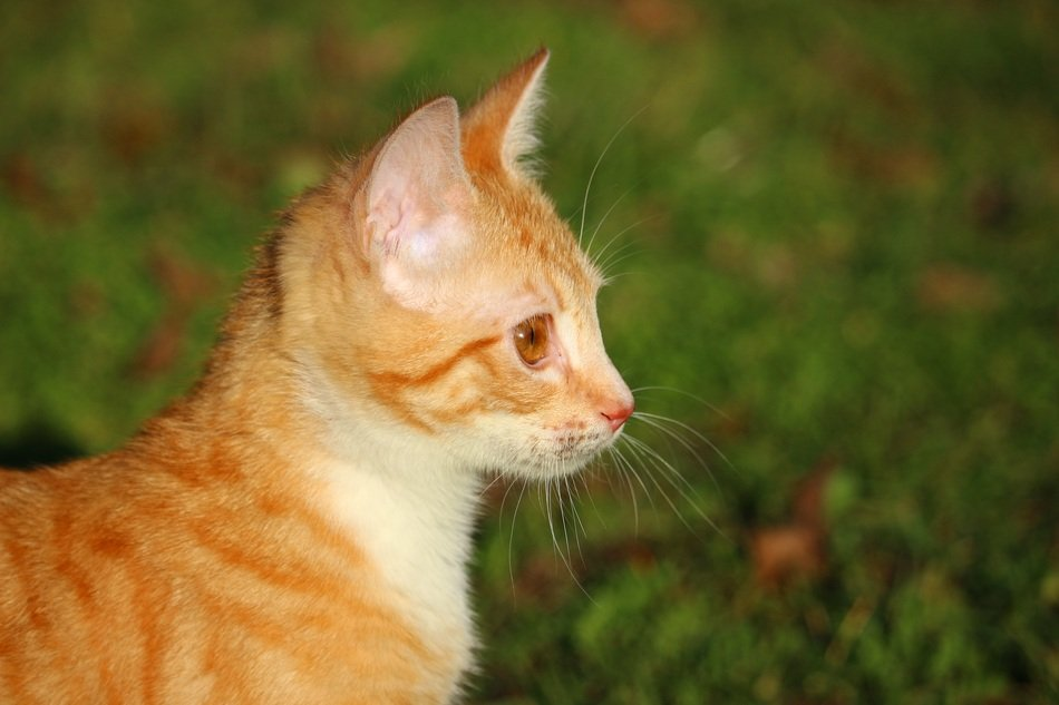 profile portrait of young red cat