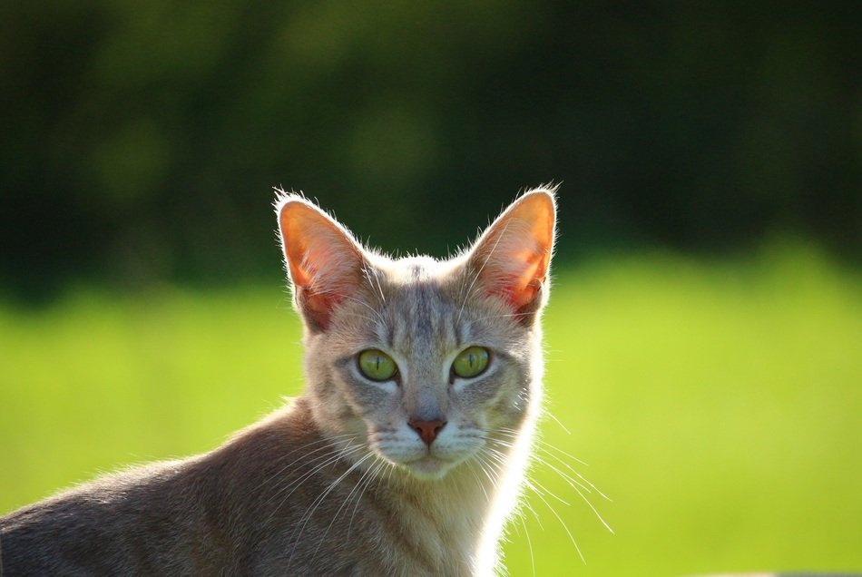 portrait of a young domestic cat with green eyes