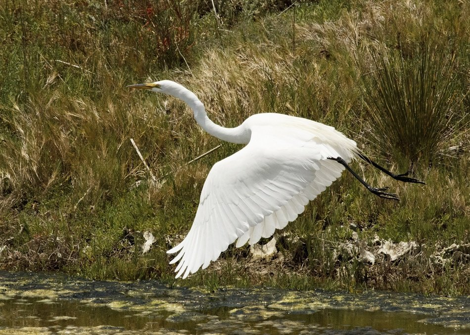 landing great egret
