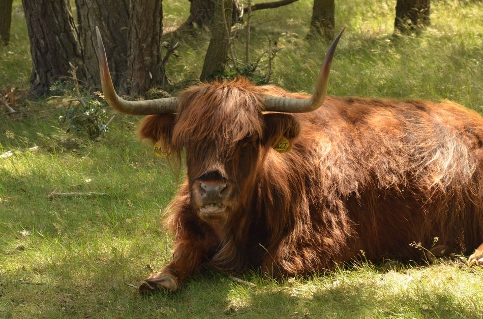 resting red scottish cow