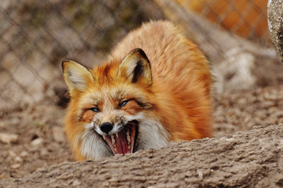 red fox with opened mouth