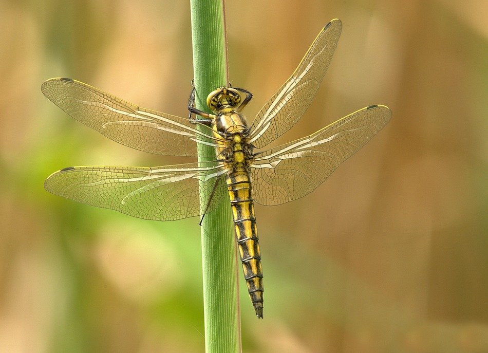 yellow dragonfly with four transparent wings