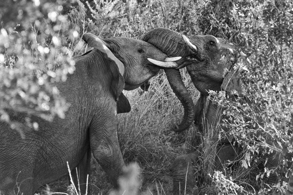 two elephants in black and white