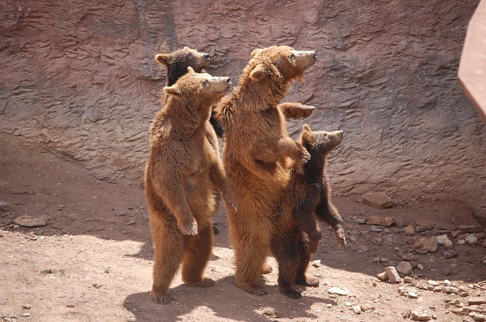 family of brown bears in the zoo