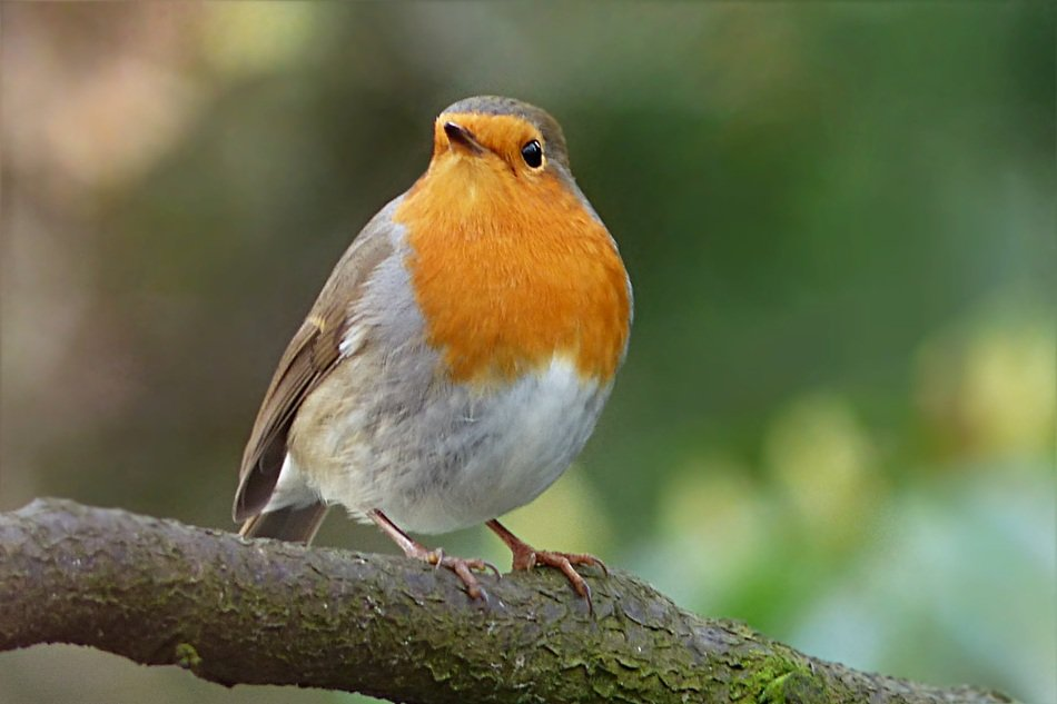 perched robin in the garden