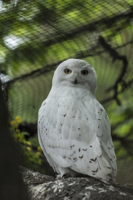 portrait of white owl in nature