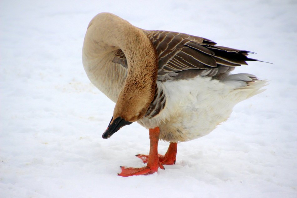 dimestic goose cleaning up