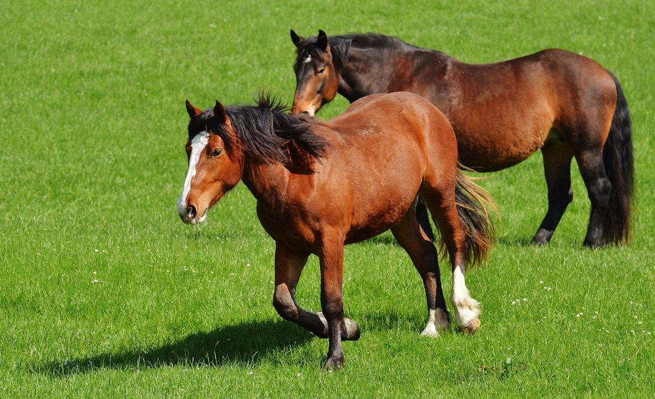 light brown horses on pasture