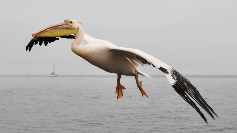 flying pelican in wildlife