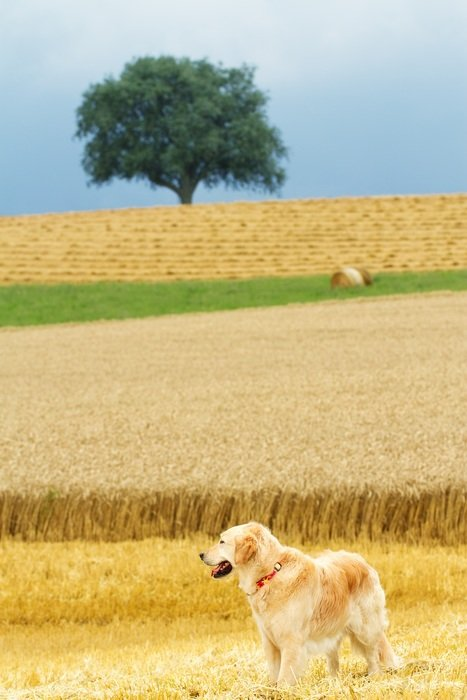 charming Dog Golden Retriever