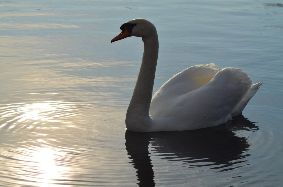 swimming swan in evening