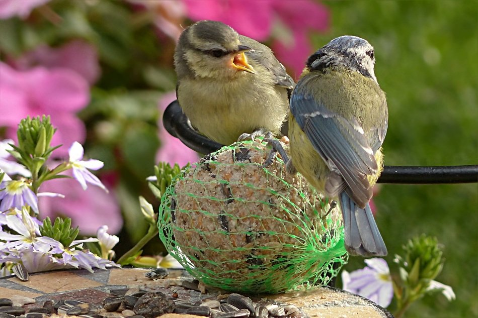 two blue tits in the garden