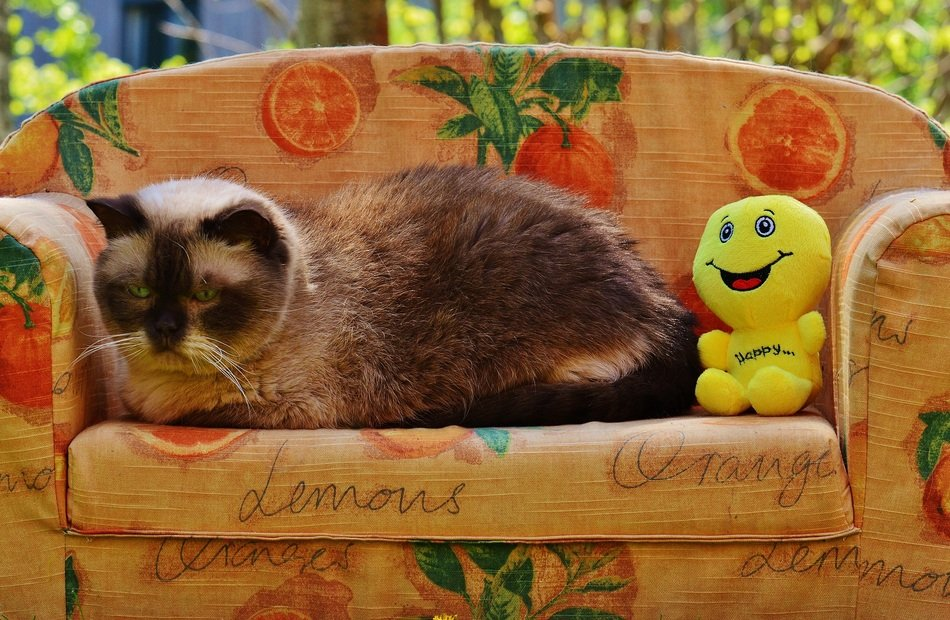 domestic cat on the sofa with yellow soft toy