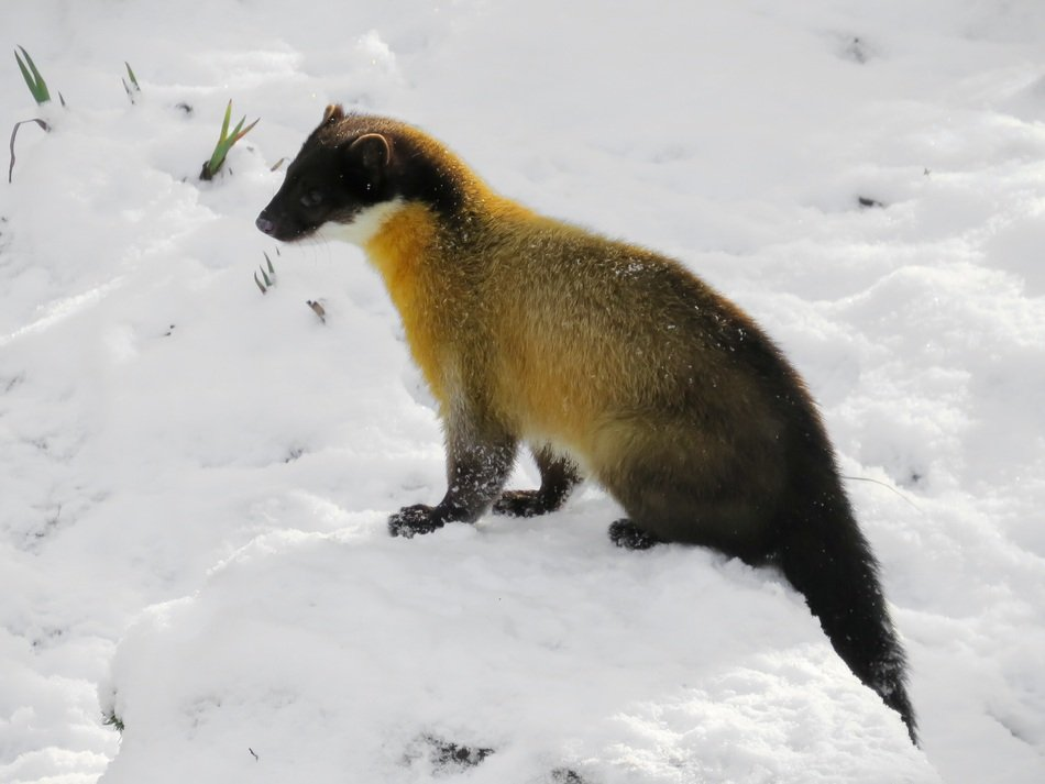 Marten in the snow