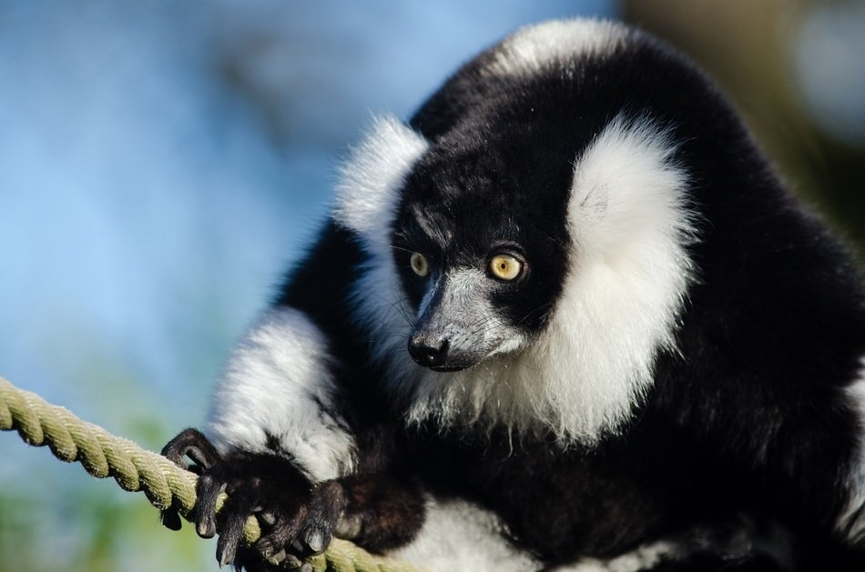 black and white ruffed lemur in the zoo