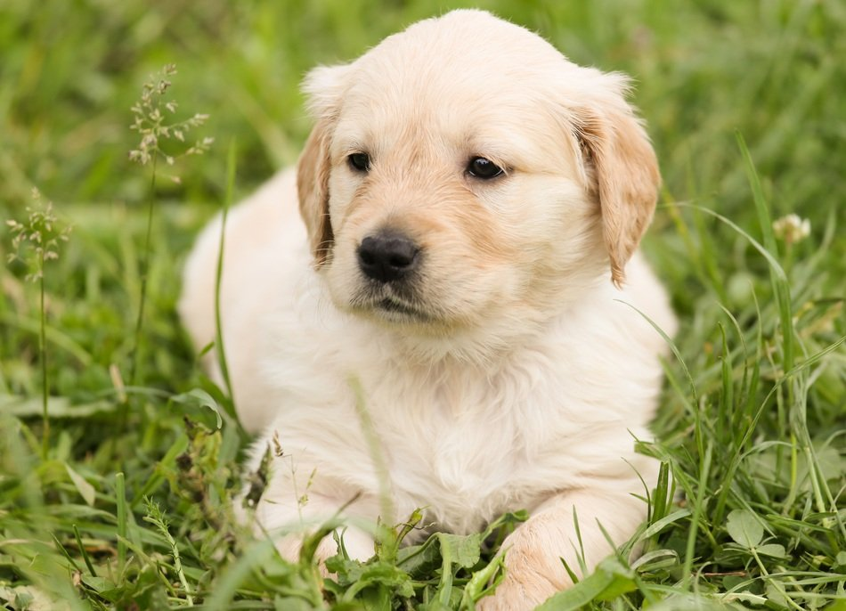 sweet puppy of golden retriever