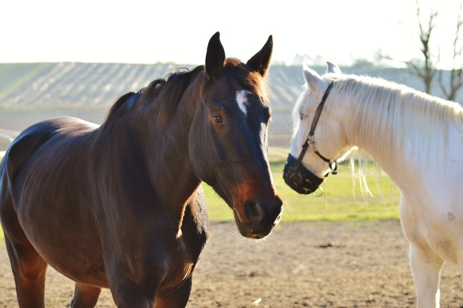 pair of white and brown horses on a farm on a sunny day