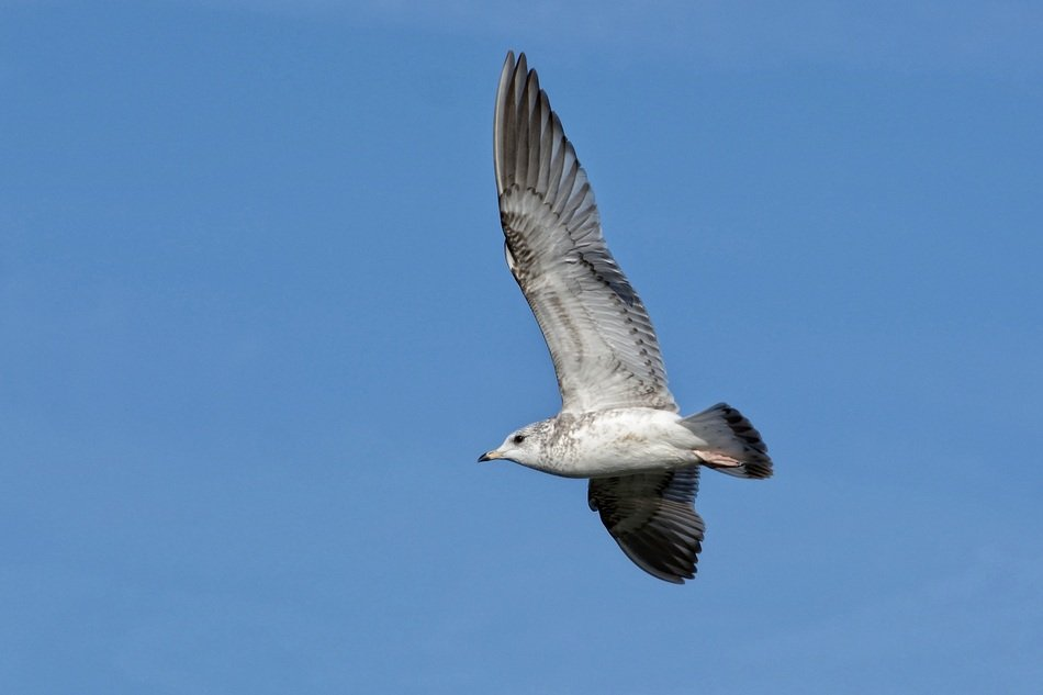 ring-billed seagull in flight