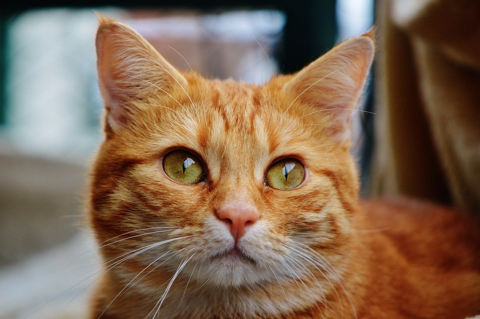 portrait of a cuddky red cat