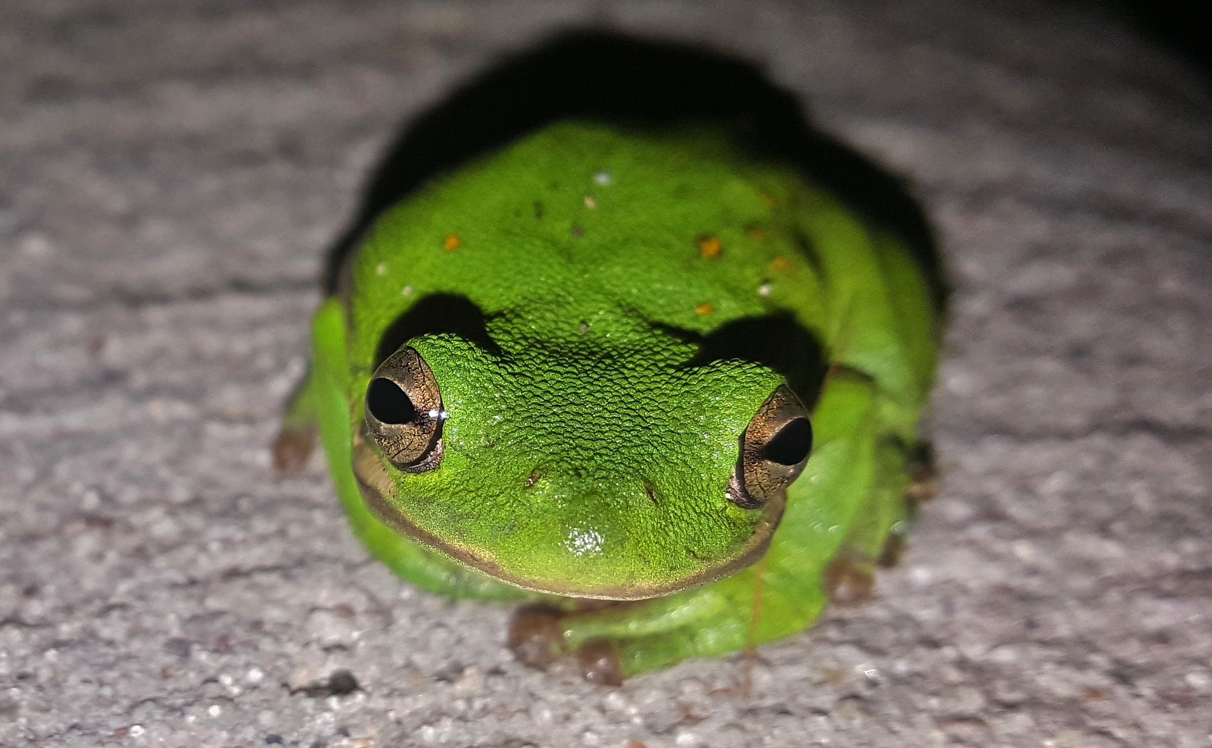 green tree frog - HD 1280×790