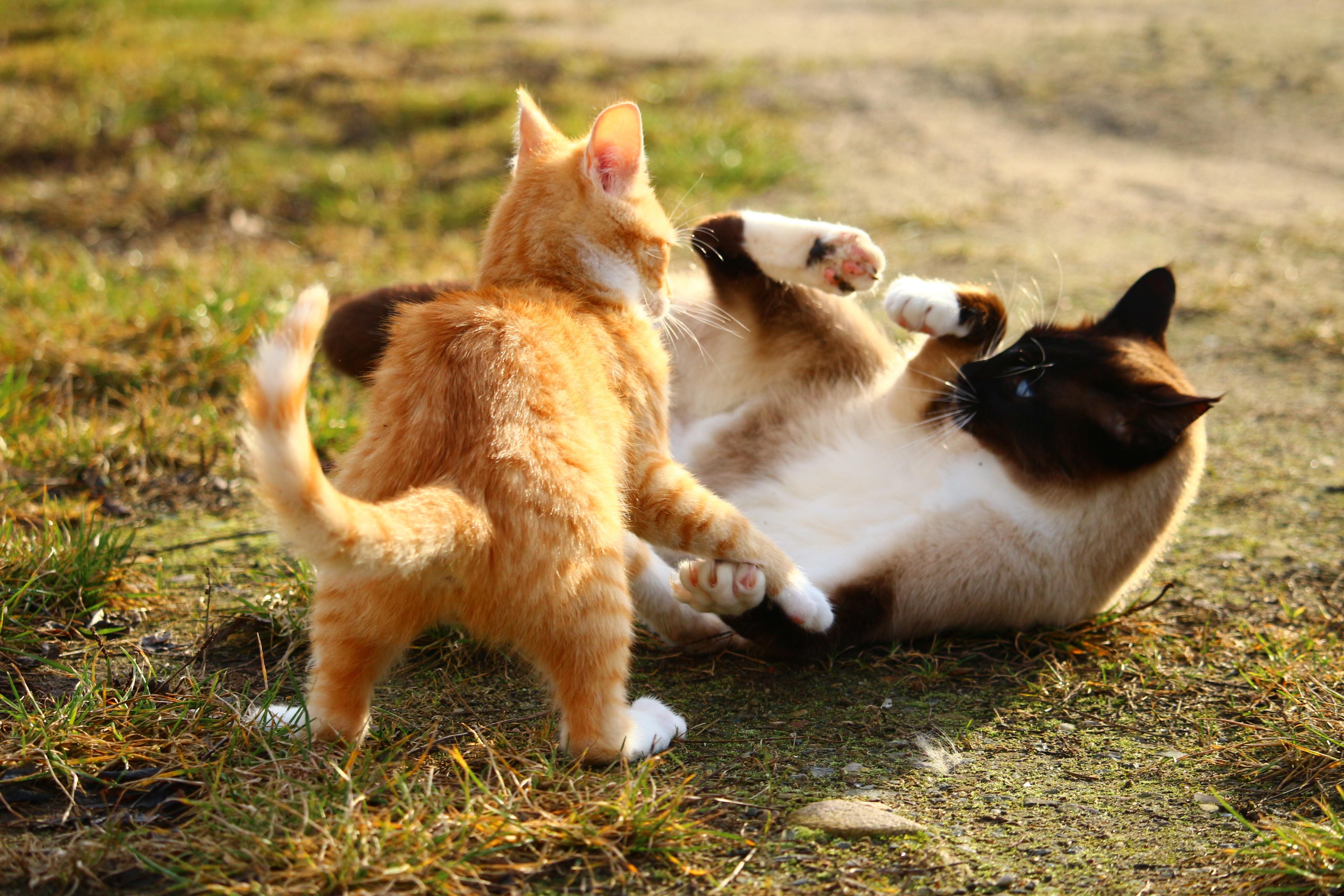 scottish fold cats dallas