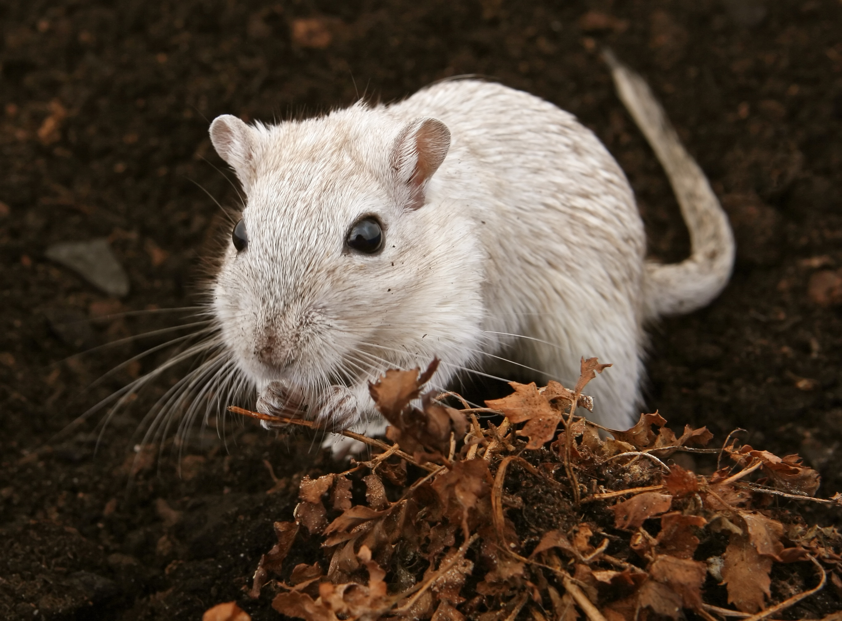 White Dirty Mouse Outdoor