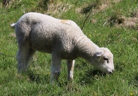 young lamb on the pasture