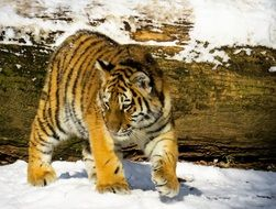 young tiger walking on the snow in the nuremberg zoo