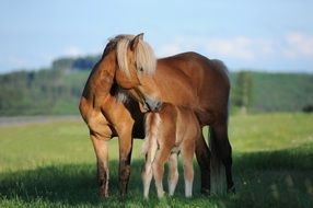mare with foal in the meadow