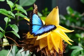 Blue morpho on the banana flower