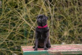Black Pug sits on bench outdoor