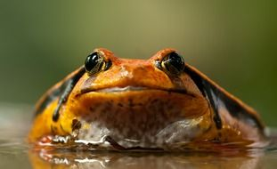 yellow-black frog in the pond