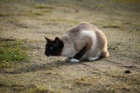 hunting domestic siamese cat