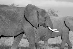 Black and white photo of the elephants