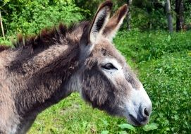 Donkey domestic animal