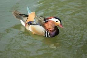 duck with multi-colored plumage on the water