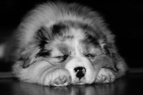black and white photo of a fluffy puppy