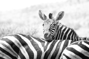 flock of zebras in black and white