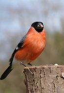red Bullfinch Male on wooden log
