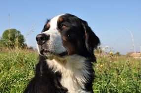 outdoor portrait of a bernese mountain dog