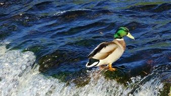 duck stands in water